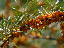 Buckthorn. Branch of buckthorn berries in a garden Stock Image