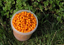 Buckthorn in a bucket. Buckthorn berries collected in white plastic bucket on the green grass Royalty Free Stock Photo