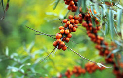 Buckthorn Royalty Free Stock Photography