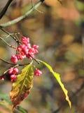 Buckthorn bush Royalty Free Stock Image