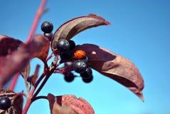 Buckthorn för Frangula alnusal, glansig buckthorn som bryter buckthornfilialen med svarta bär och den lilla röda nyckelpigan på d royaltyfria foton