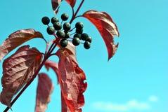 Buckthorn för Frangula alnusal, glansig buckthorn som bryter buckthornfilialen med svarta bär och röda sidor royaltyfri foto