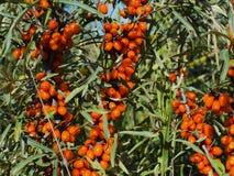 Buckthorn jagoda Zdjęcie Royalty Free