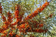 Buckthorn jagoda Obrazy Royalty Free