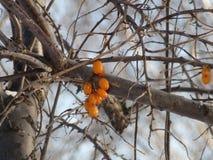 Buckthorn jagoda na gałąź zdjęcia stock
