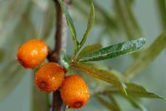 Buckthorn jagody. Fotografia Stock