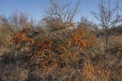 Buckthorn krzak folujący z owoc fotografia stock