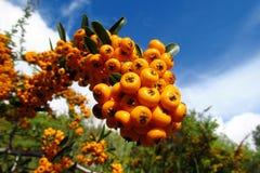 Buckthorn orange berries Royalty Free Stock Image