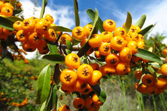 Buckthorn orange berries Royalty Free Stock Photography