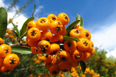 Buckthorn orange berries Stock Photo