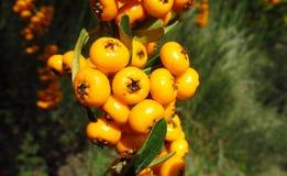 Buckthorn orange berries stock image