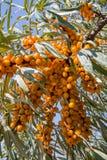 Buckthorn owoc na krzak gałąź Obrazy Royalty Free
