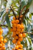 Buckthorn owoc na krzak gałąź Zdjęcie Stock