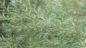 Buckthorn rozgałęzia się bez jagod zbiory