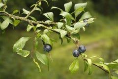 Buckthorn or sloe, Prunus spinosa, Royalty Free Stock Images