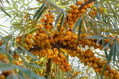The buckthorn tree. The fruits of sea buckthorn Stock Image