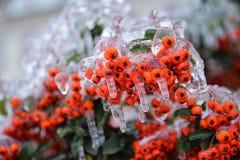 Buckthorn zakrywający z lodem Obraz Royalty Free