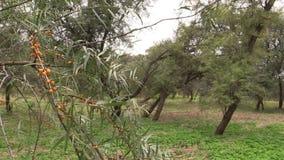 Buckthornträdfilial med flyttning för gult bär i vind stock video