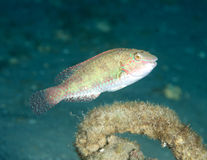 Bucktooth Parrotfish. Sparisoma radians, picture taken in Palm Beach County Florida Stock Photos