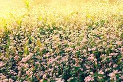 Buckweat field. Flowering buckwheat field at sunrise royalty free stock photos