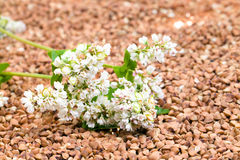 Buckwheat. The light flower of the buckwheat lying on a heap of collected grains of a buckwheat Royalty Free Stock Photo
