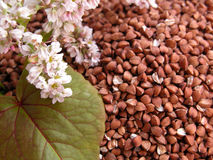 Buckwheat Royalty Free Stock Photography