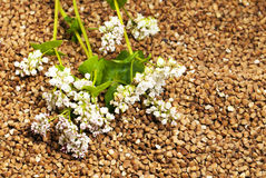 Buckwheat. The flower of a buckwheat being on grains of a buckwheat. small depth of sharpness Stock Photo