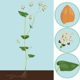 Buckwheat as a plant Stock Photography