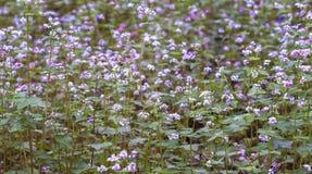 Buckwheat blooming field of flowers blooming purple Stock Photo