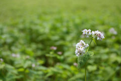 Buckwheat blossom against green blurred background Stock Photography