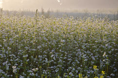 Buckwheat blossoms on field and morning mist Royalty Free Stock Photos