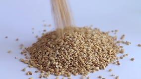 Buckwheat falls white background stock video footage