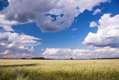 Buckwheat field. Flowering buckwheat field under the blue cloudy sky Royalty Free Stock Images