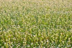 Buckwheat field Stock Photos