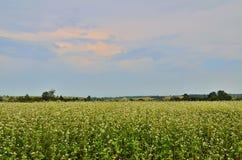 Buckwheat field. Stock Image