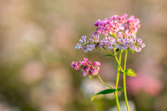 Buckwheat field in Blossom Royalty Free Stock Images