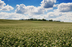 Buckwheat field on blue sky background Stock Photos