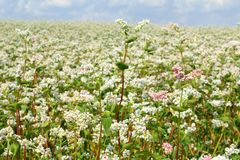 Buckwheat field Royalty Free Stock Image