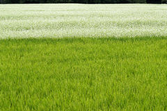 Buckwheat field over rice field Royalty Free Stock Images
