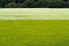 Buckwheat field over rice field Royalty Free Stock Image