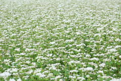 Buckwheat field Stock Image