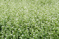 Buckwheat field Royalty Free Stock Images