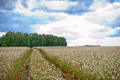 Buckwheat field and road Stock Images