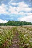 Buckwheat field and road Royalty Free Stock Photo