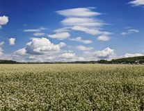 A buckwheat field on a summer day, Altai Krai,. Russia Stock Photography