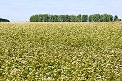 Buckwheat field and trees Stock Photo