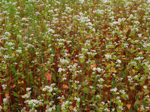 Buckwheat field. White blooms of buckwheat on a field Royalty Free Stock Images