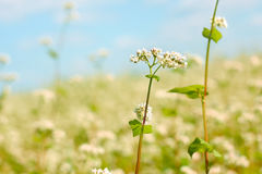 Buckwheat flower above field Stock Images