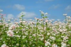 Buckwheat flower Royalty Free Stock Photography