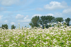 Buckwheat flower Stock Photography